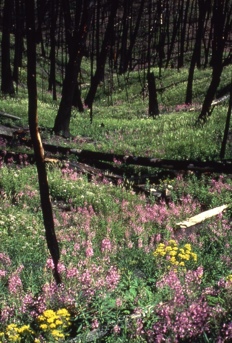 Flowers_Yellowstone_1989[1]